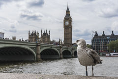A bird in front of Big Ben. A bird with Big Ben and Westminster in the background Royalty Free Stock Image