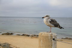 Bird in front of sea at Monterey Bay California. Bird in front of ocean at Monterey Bay California. Dreamy stock photo