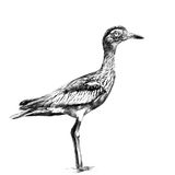 Bird  full-length sketch vector graphics. Bird avdotka full-length is, sketch vector graphics black and white drawing Stock Photos