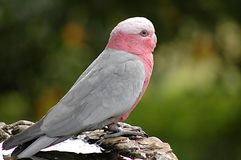 Bird - Galah Stock Image