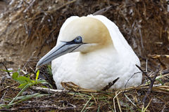 Bird gannet Stock Photo