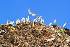 Bird on  garbage Stock Photography