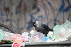 Bird on garbage dump Royalty Free Stock Image