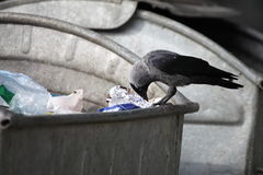Bird on garbage dump Royalty Free Stock Photo