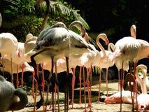 Flamingo Bird Royalty Free Stock Images