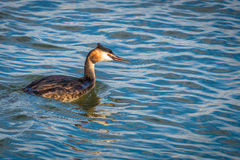 Bird getting ready to dive looking for some food Royalty Free Stock Photography