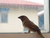 Bird at the glass window. Scaly-breasted Munia Bird at the glass window Stock Photography