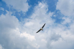 Bird gliding on cloud and sky Stock Images