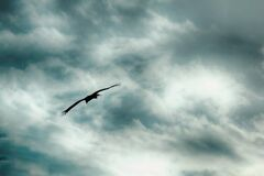 Bird Gliding on Outstretched Wings Stock Images