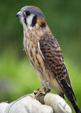 Bird on a Glove. An American Kestrel (Falco sparverius) on the glove of a falconer Royalty Free Stock Image