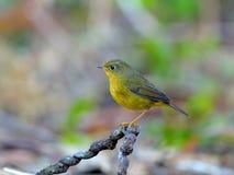 Bird (Golden Bush-Robin) , Thailand Stock Photo