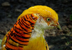 Bird - Golden pheasant. Golden pheasant,.....The adult male is 90–105 cm in length, its tail accounting for two-thirds of the total length. It is unmistakable Royalty Free Stock Image