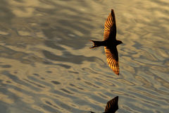 Bird with golden wings flying over water Stock Photos