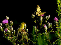 Bird goldfinch and Butterfly isolated background Royalty Free Stock Photography