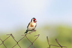 Bird goldfinch sitting on a metal fence Stock Photo