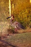 Bird Goliath heron sat on nest. Goliath heron is also known as giant heron. iIt is a very large wading bird of the heron family. Male and female looks similar stock photography