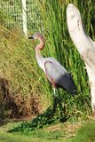 Bird Goliath heron stood on the green field. Goliath heron is also known as giant heron. iIt is a very large wading bird of the heron family. Male and female Stock Image