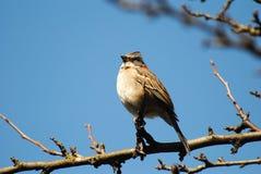 Bird, Gorrion. Royalty Free Stock Photography