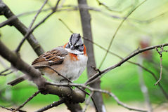 Bird, Gorrion. Bird sparrow laid down in fruit-bearing- quince branch, sort that you inhabit in almost everybody.Gorrion name royalty free stock photos