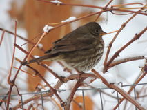 Bird perched in a grapevine after the first winter storm Stock Photos