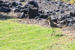 Bird on the Grass. Bird walking on the grass, close to a rocky patch stock images