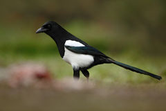 Bird in the grass. European Magpie or Common Magpie, Pica pica, black and white bird with long tail, in the nature habitat, clear Royalty Free Stock Photos