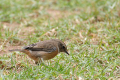 Bird in the grass Royalty Free Stock Images