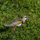 Bird on the grass Stock Images