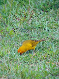 Bird on the grass Royalty Free Stock Photography