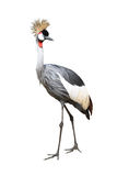 Bird gray crown crane