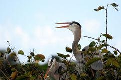 Bird: Great Blue Heron Royalty Free Stock Image