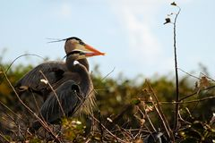 Bird: Great Blue Heron Couple Royalty Free Stock Photo