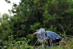 Bird, great blue heron couple Royalty Free Stock Image