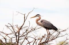 Bird, great blue heron, Florida Stock Images