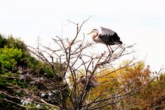 Bird, great blue heron on top of tree, South Florida Royalty Free Stock Photo