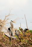 Bird, Great Blue Heron In a Tree Stock Photo
