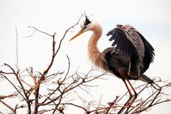 Bird, great blue heron on tree branch, South Florida Royalty Free Stock Images