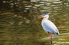 Bird, Great Blue Heron In Water Royalty Free Stock Photos