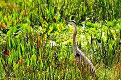 Bird, Great blue heron in wetland Royalty Free Stock Images