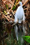 Bird: Great Egret in Breeding Plumage Stock Photo