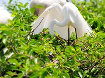 Bird, great egret in breeding plumage, Florida Stock Image
