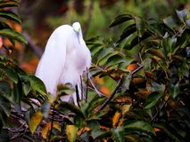 Bird, great egret in breeding plumage in nest in Florida Stock Image