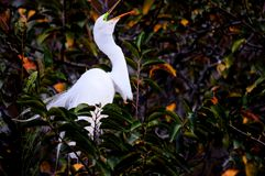 Bird, great egret in breeding plumage in nest, Florida Stock Photography