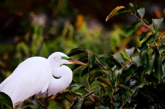 Bird, great egret in breeding plumage in nest Stock Images