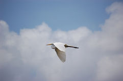 Bird - Great Egret flying Stock Photography