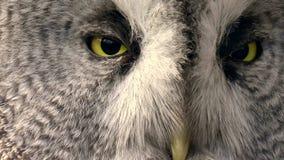 Bird, The great gray owl stock footage