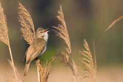 Bird - great reed warbler Stock Images
