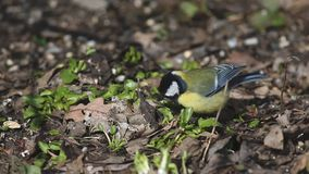 Bird great tit  /parus major/ is digging in old leaves on the ground in spring.  stock video