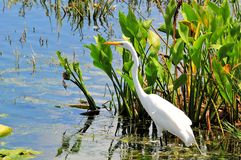 Bird: Great White Egret Royalty Free Stock Photos