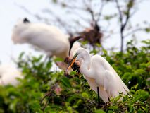 Bird, great white egret in breeding plumage, Florida Royalty Free Stock Photography